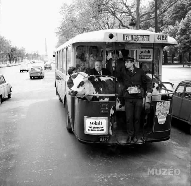 Bus avec vache081_n