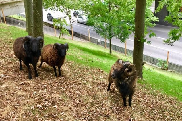 7785071960_des-moutons-au-bord-du-peripherique-parisien